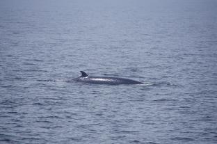 Whale, Canada