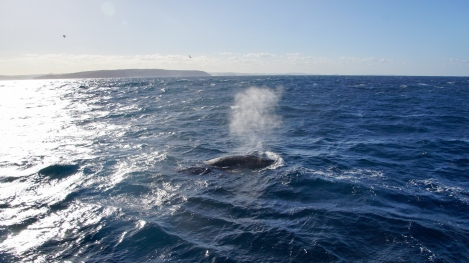 Humpback Whale, Sydney