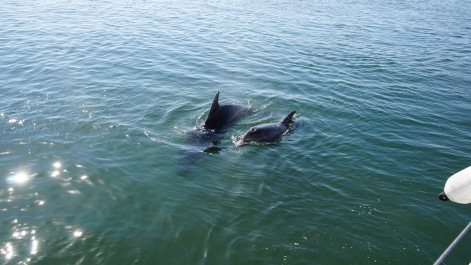 Dolphins, Setúbal Bay